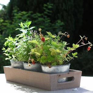 Three Herb Pots with Wooden Tray