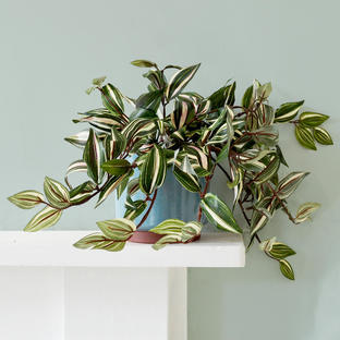 Faux Tradescantia in Pot