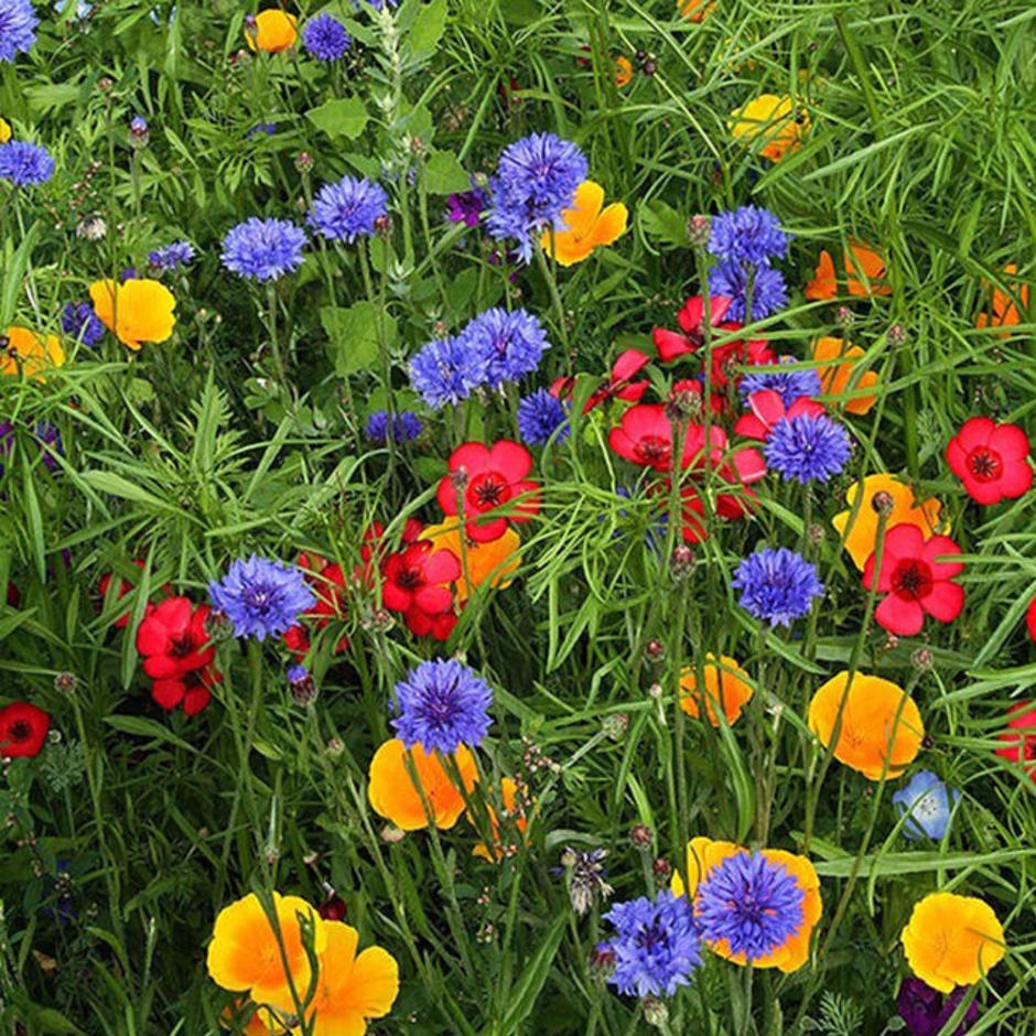 Contrasting Cottage Garden Meadow Seeds