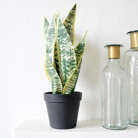 Varigated Faux Snake plant in pot
