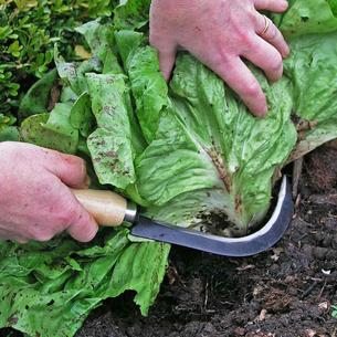 Vegetable Harvesting Knife