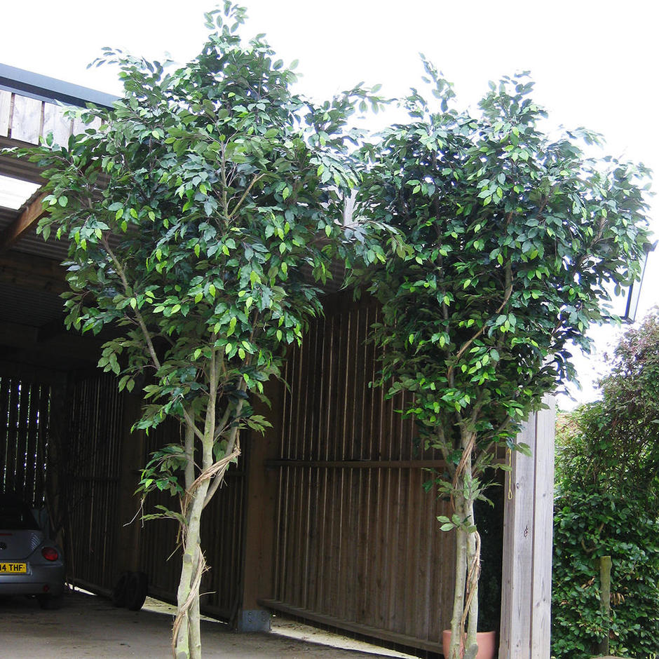 Buy Large Indoor Faux Ficus Tree — The Worm that Turned ...