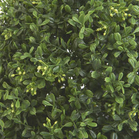 Faux Boxwood Trees