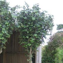 Large Faux Ficus Tree - 2.75m