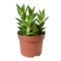 Large Aloe Potted Plant